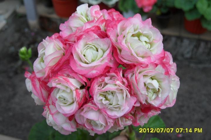 Белые розочки с ярко розовой каймой и